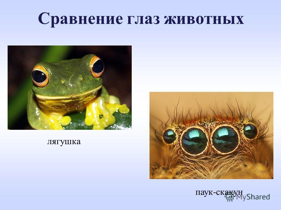 Сравнение глаз животных лягушка паук-скакун
