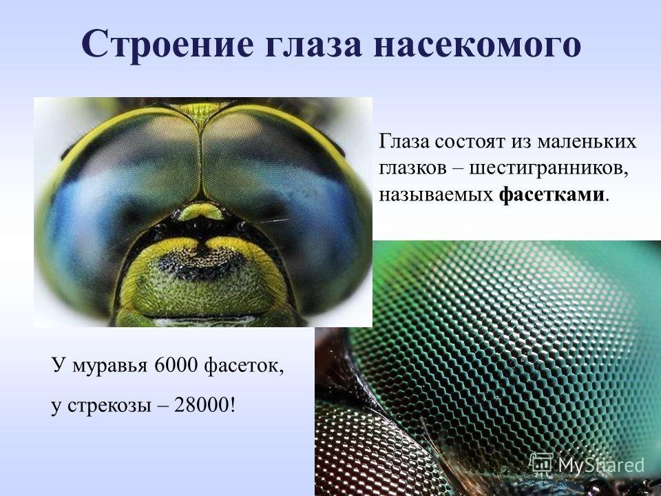 Строение глаза насекомого Глаза состоят из маленьких глазков – шестигранников, называемых фасетками. У муравья 6000 фасеток, у стрекозы – 28000!