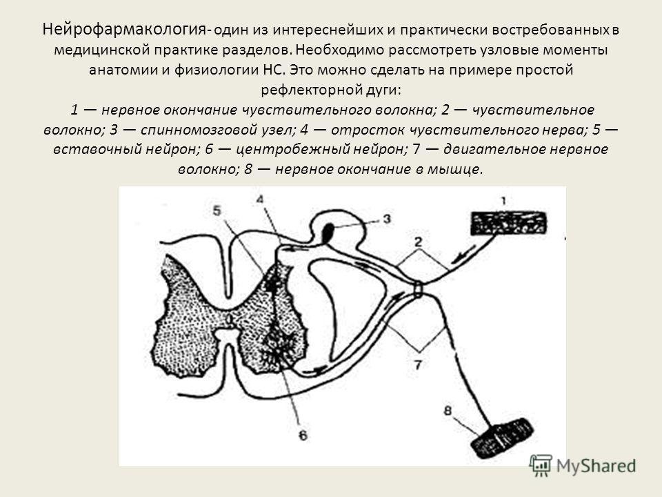 Нейрофармакология - один из интереснейших и практически востребованных в медицинской практике разделов. Необходимо рассмотреть узловые моменты анатомии и физиологии НС. Это можно сделать на примере простой рефлекторной дуги: 1 нервное окончание чувст