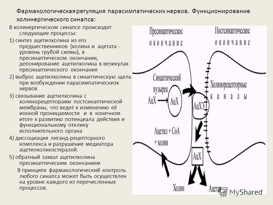 Фармакологическая регуляция парасимпатических нервов. Функционирование холинергического синапса: В холинергическом синапсе происходят следующие процессы: 1) синтез ацетилхолина из его предшественников (холина и ацетата - уровень грубой схемы), в прес