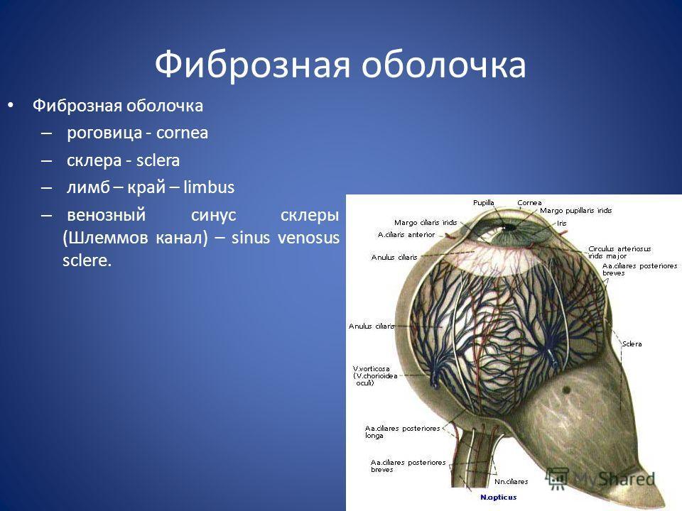 Фиброзная оболочка – роговица - cornea – склера - sclera – лимб – край – limbus – венозный синус склеры (Шлеммов канал) – sinus venosus sclere.