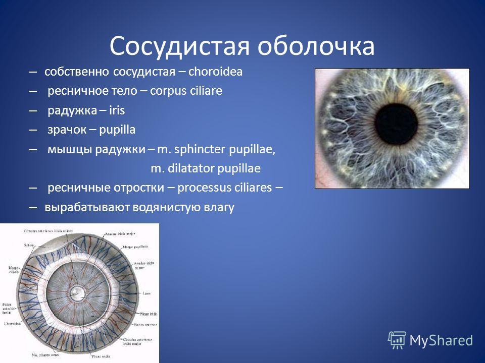 Сосудистая оболочка – собственно сосудистая – choroidea – ресничное тело – corpus ciliare – радужка – iris – зрачок – pupilla – мышцы радужки – m. sphincter pupillae, m. dilatator pupillae – ресничные отростки – processus ciliares – – вырабатывают во