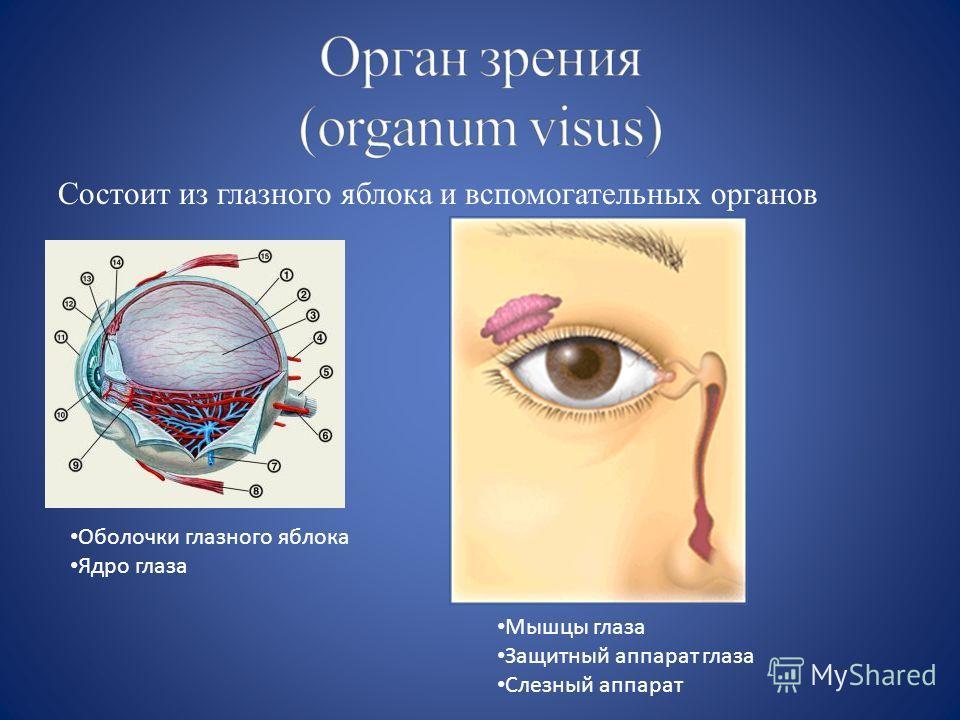 Состоит из глазного яблока и вспомогательных органов Оболочки глазного яблока Ядро глаза Мышцы глаза Защитный аппарат глаза Слезный аппарат