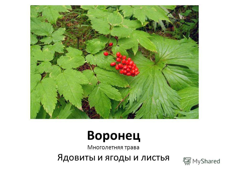 Воронец Многолетняя трава Ядовиты и ягоды и листья