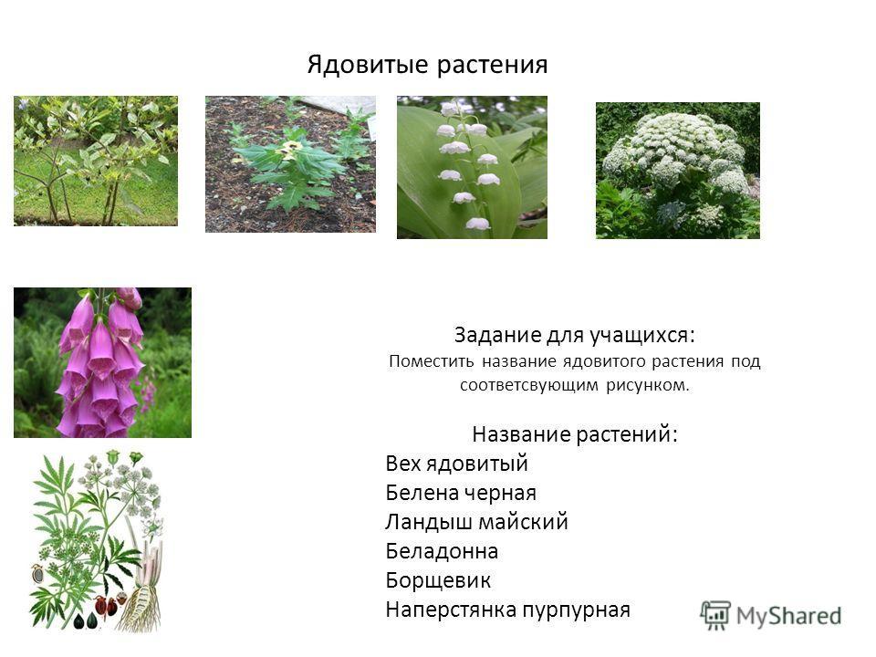 Ядовитые растения Задание для учащихся: Поместить название ядовитого растения под соответсвующим рисунком. Название растений: Вех ядовитый Белена черная Ландыш майский Беладонна Борщевик Наперстянка пурпурная
