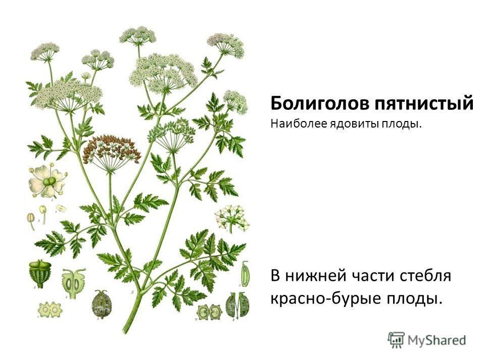 Болиголов пятнистый Наиболее ядовиты плоды. В нижней части стебля красно-бурые плоды.