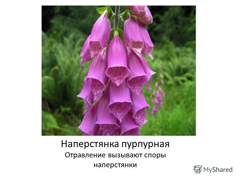 Наперстянка пурпурная Отравление вызывают споры наперстянки