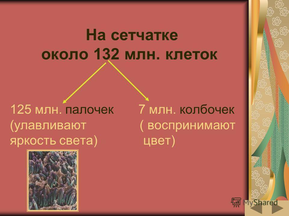 На сетчатке около 132 млн. клеток 125 млн. палочек 7 млн. колбочек (улавливают ( воспринимают яркость света) цвет)