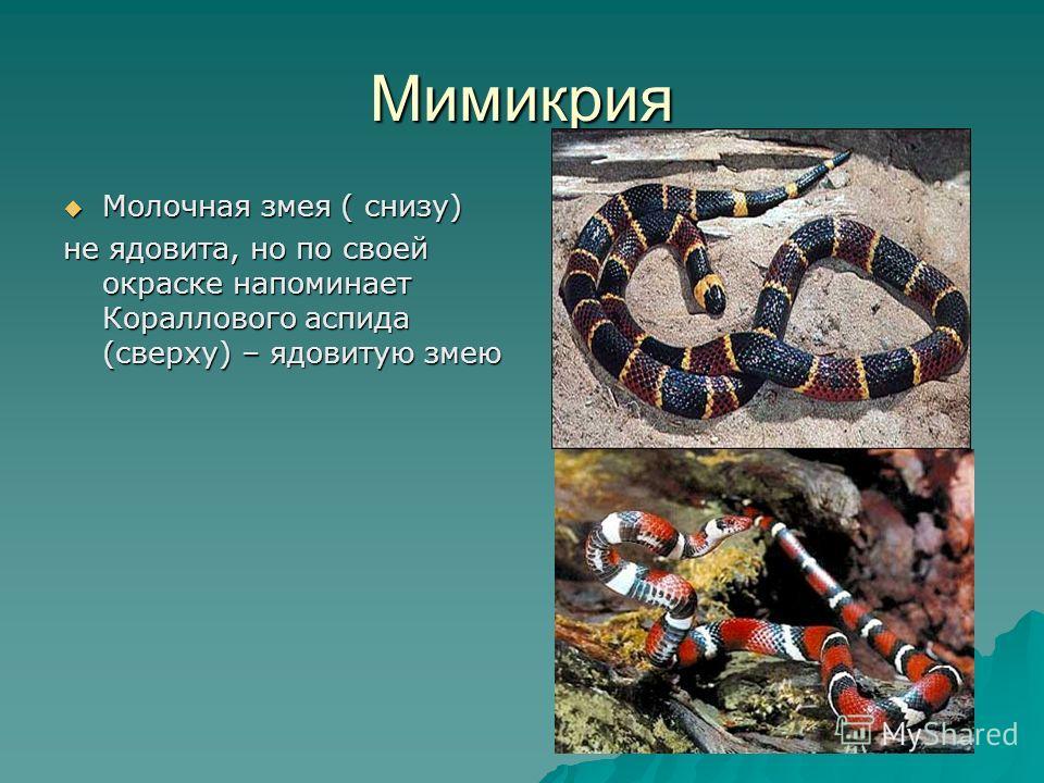Мимикрия Молочная змея ( снизу) Молочная змея ( снизу) не ядовита, но по своей окраске напоминает Кораллового аспида (сверху) – ядовитую змею