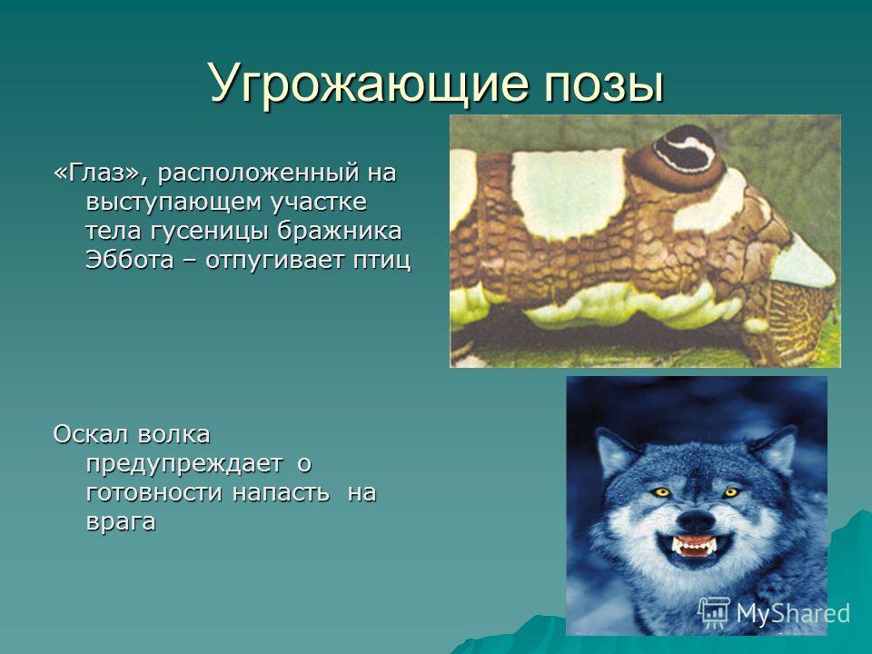 Угрожающие позы «Глаз», расположенный на выступающем участке тела гусеницы бражника Эббота – отпугивает птиц Оскал волка предупреждает о готовности напасть на врага