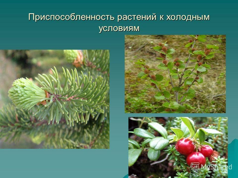 Приспособленность растений к холодным условиям
