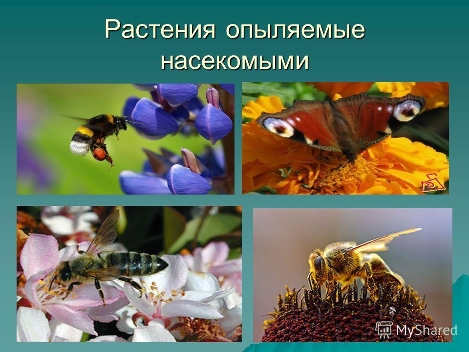 Растения опыляемые насекомыми