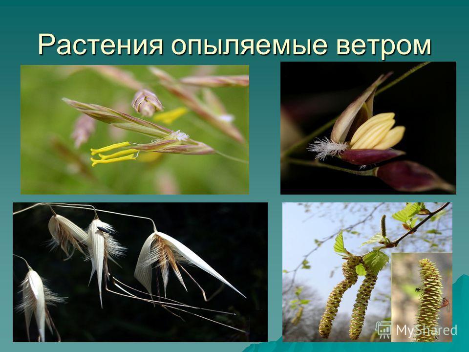 Растения опыляемые ветром
