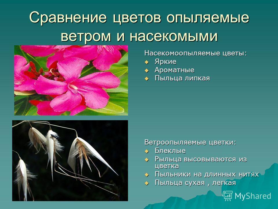 Сравнение цветов опыляемые ветром и насекомыми Насекомоопыляемые цветы: Яркие Яркие Ароматные Ароматные Пыльца липкая Пыльца липкая Ветроопыляемые цветки: Блеклые Блеклые Рыльца высовываются из цветка Рыльца высовываются из цветка Пыльники на длинных