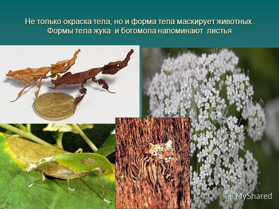 Не только окраска тела, но и форма тела маскирует животных. Формы тела жука и богомола напоминают листья