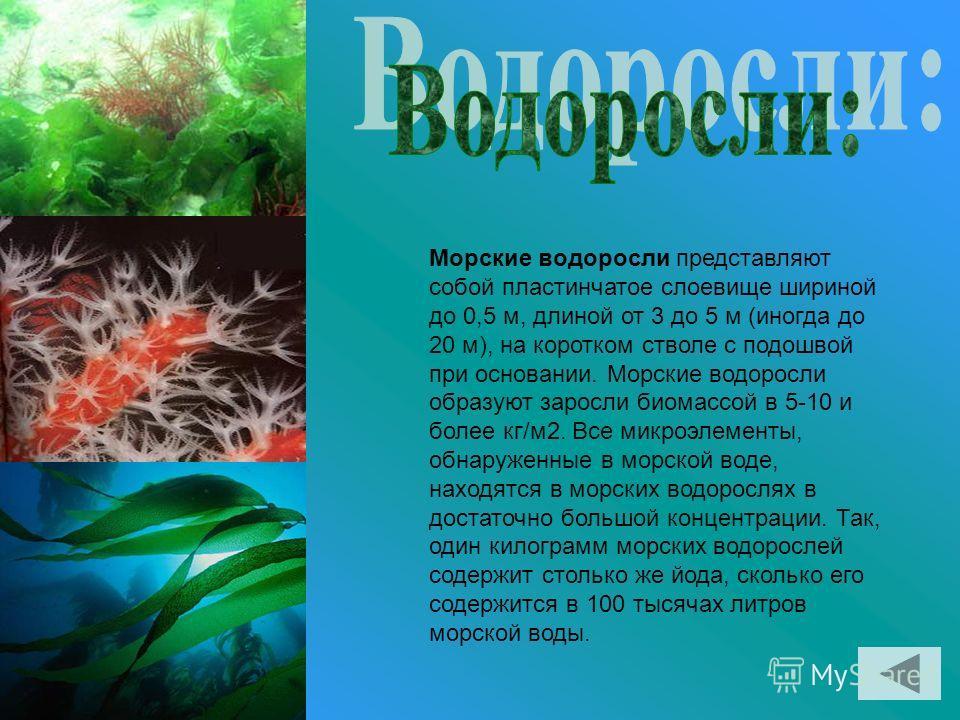 Морские водоросли представляют собой пластинчатое слоевище шириной до 0,5 м, длиной от 3 до 5 м (иногда до 20 м), на коротком стволе с подошвой при основании. Морские водоросли образуют заросли биомассой в 5-10 и более кг/м2. Все микроэлементы, обнар