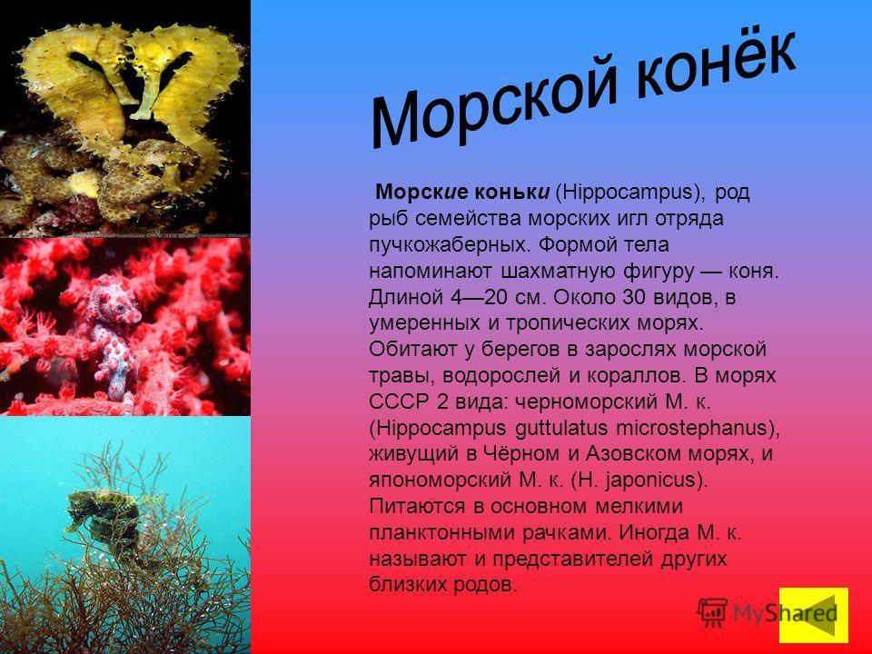 Морские коньки (Hippocampus), род рыб семейства морских игл отряда пучкожаберных. Формой тела напоминают шахматную фигуру коня. Длиной 420 см. Около 30 видов, в умеренных и тропических морях. Обитают у берегов в зарослях морской травы, водорослей и к