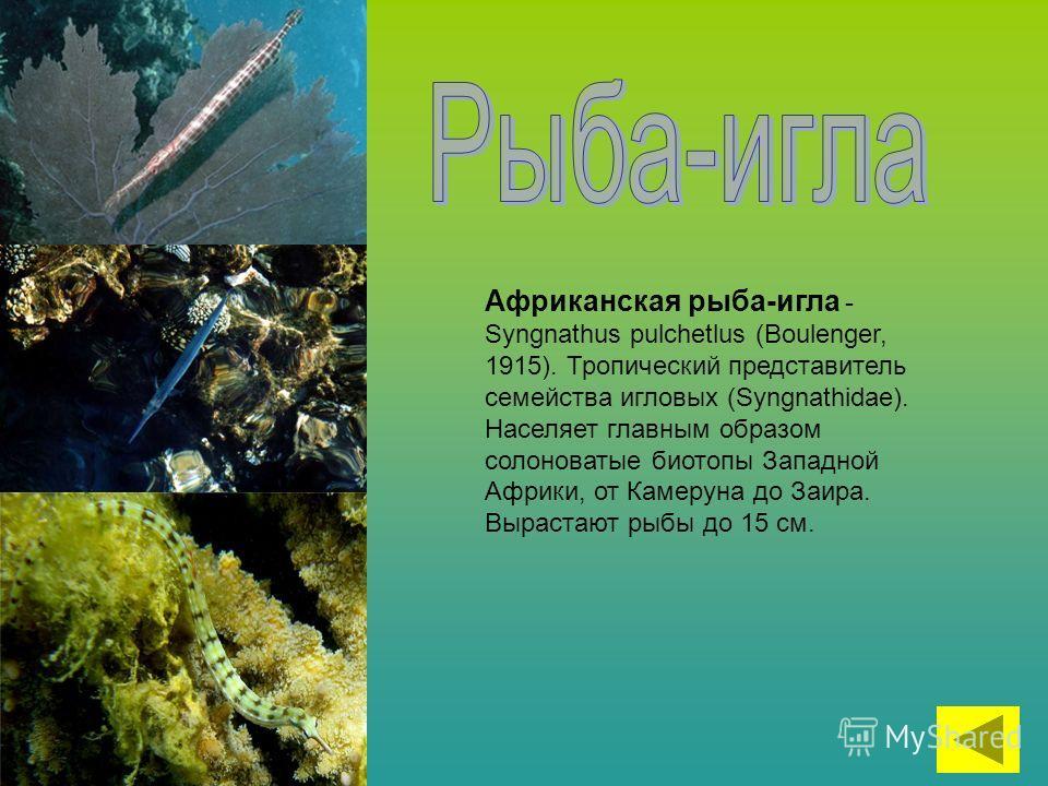 Африканская рыба-игла - Syngnathus pulchetlus (Boulenger, 1915). Тропический представитель семейства игловых (Syngnathidae). Населяет главным образом солоноватые биотопы Западной Африки, от Камеруна до Заира. Вырастают рыбы до 15 см.