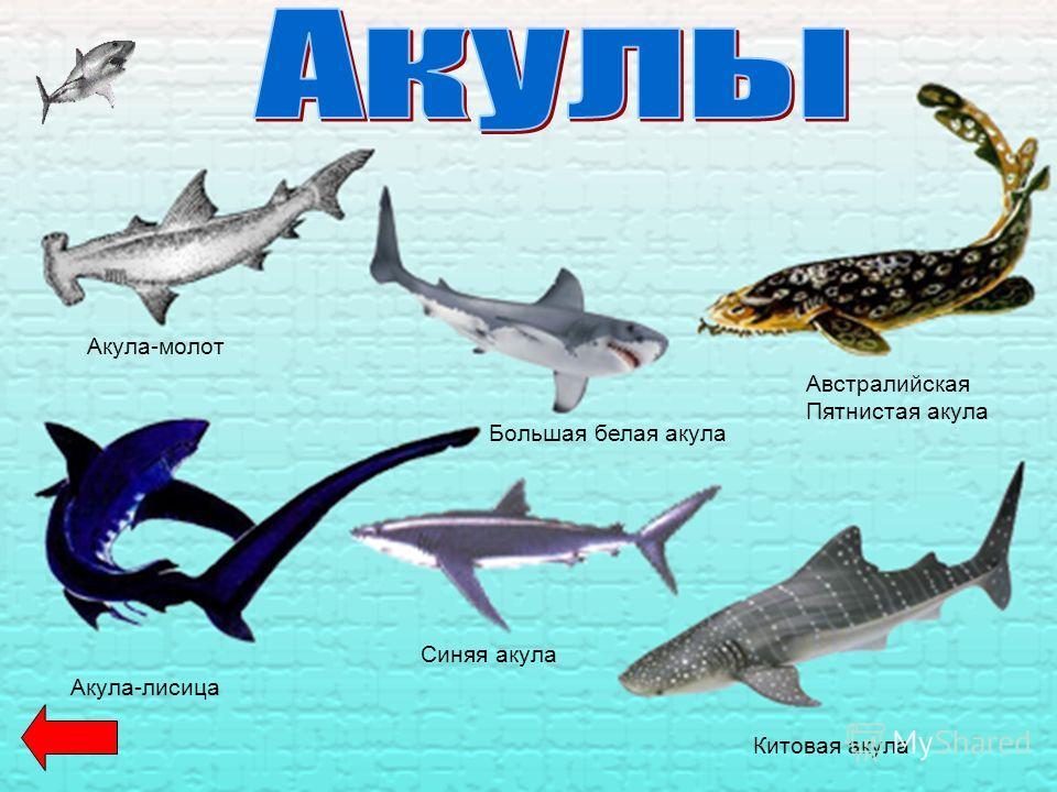 Акула-молот Большая белая акула Австралийская Пятнистая акула Синяя акула Акула-лисица Китовая акула