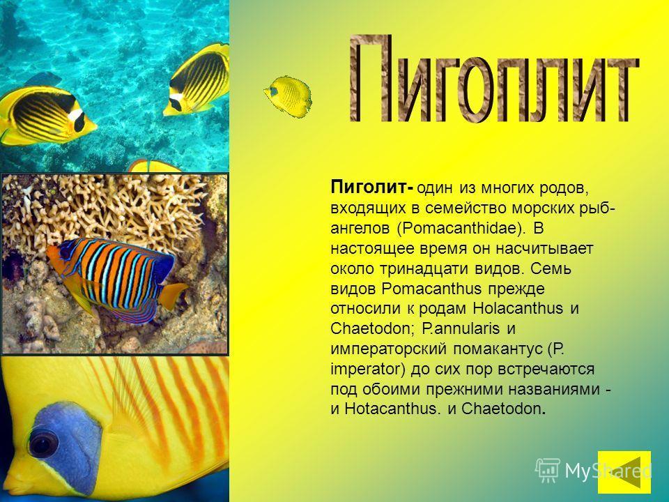 Пиголит- один из многих родов, входящих в семейство морских рыб- ангелов (Pomacanthidae). В настоящее время он насчитывает около тринадцати видов. Семь видов Pomacanthus прежде относили к родам Holacanthus и Chaetodon; Р.annularis и императорский пом
