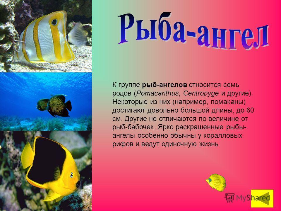 К группе рыб-ангелов относится семь родов (Pomacanthus, Centropyge и другие). Некоторые из них (например, помаканы) достигают довольно большой длины, до 60 см. Другие не отличаются по величине от рыб-бабочек. Ярко раскрашенные рыбы- ангелы особенно о