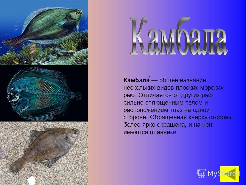 Камбала́ общее название нескольких видов плоских морских рыб. Отличается от других рыб сильно сплющенным телом и расположением глаз на одной стороне. Обращенная кверху сторона более ярко окрашена, и на ней имеются плавники.