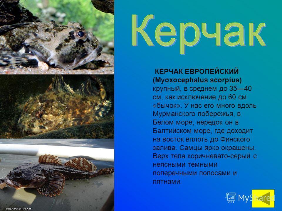 КЕРЧАК ЕВРОПЕЙСКИЙ (Myoxocephalus scorpius) крупный, в среднем до 3540 см, как исключение до 60 см «бычок». У нас его много вдоль Мурманского побережья, в Белом море, нередок он в Балтийском море, где доходит на восток вплоть до Финского залива. Самц
