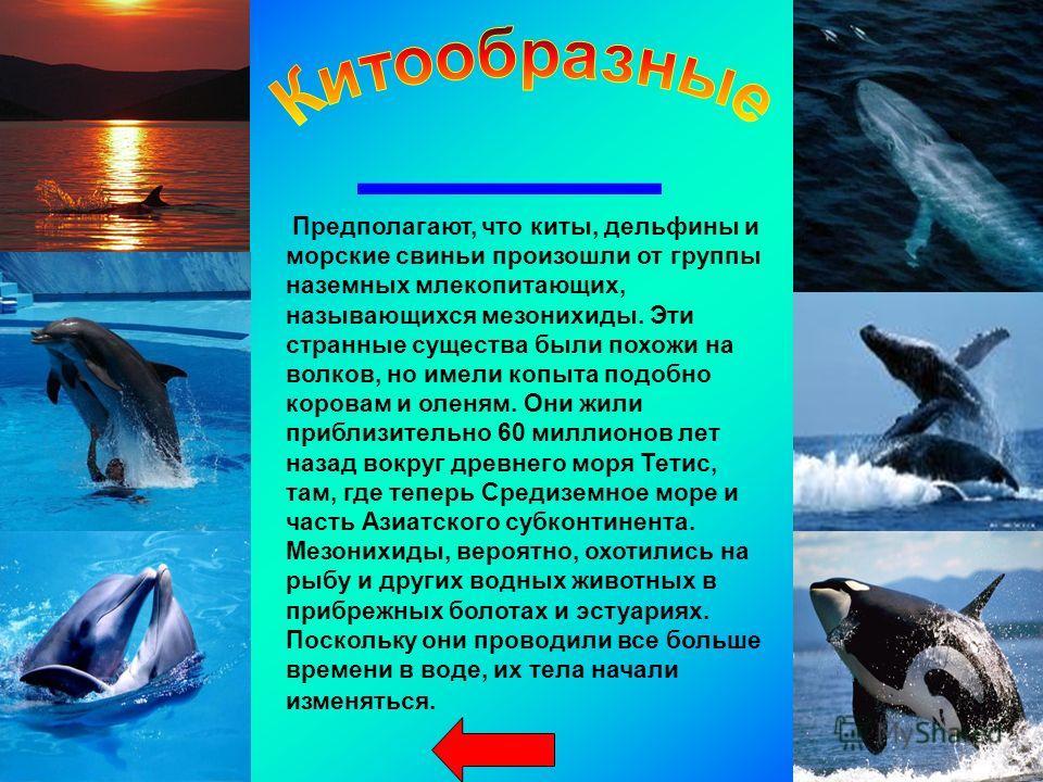 Предполагают, что киты, дельфины и морские свиньи произошли от группы наземных млекопитающих, называющихся мезонихиды. Эти странные существа были похожи на волков, но имели копыта подобно коровам и оленям. Они жили приблизительно 60 миллионов лет наз