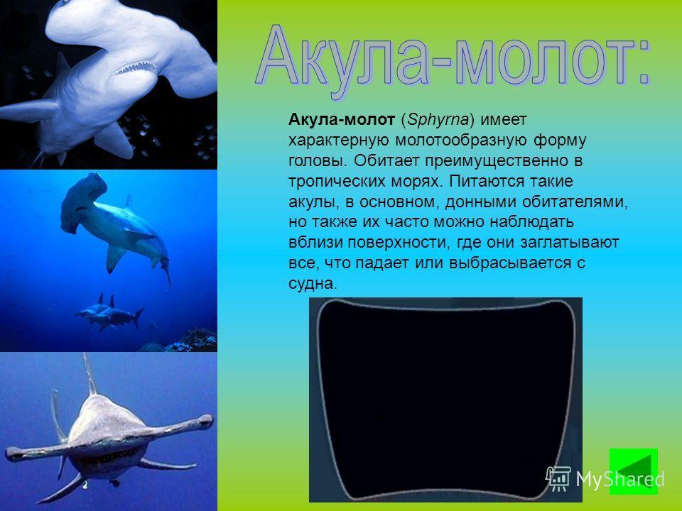 Акула-молот (Sphyrna) имеет характерную молотообразную форму головы. Обитает преимущественно в тропических морях. Питаются такие акулы, в основном, донными обитателями, но также их часто можно наблюдать вблизи поверхности, где они заглатывают все, чт