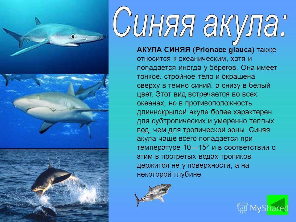 АКУЛА СИНЯЯ (Prionace glauca) также относится к океаническим, хотя и попадается иногда у берегов. Она имеет тонкое, стройное тело и окрашена сверху в темно-синий, а снизу в белый цвет. Этот вид встречается во всех океанах, но в противоположность длин