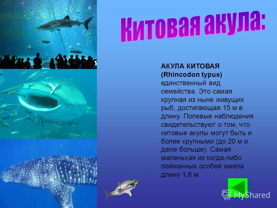 АКУЛА КИТОВАЯ (Rhincodon typus) единственный вид семейства. Это самая крупная из ныне живущих рыб, достигающая 15 м в длину. Полевые наблюдения свидетельствуют о том, что китовые акулы могут быть и более крупными (до 20 м и даже больше). Самая малень