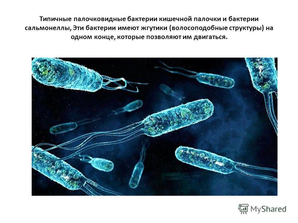 Типичные палочковидные бактерии кишечной палочки и бактерии сальмонеллы, Эти бактерии имеют жгутики (волосоподобные структуры) на одном конце, которые позволяют им двигаться.