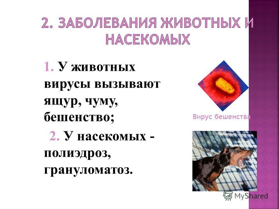 1. У животных вирусы вызывают ящур, чуму, бешенство; 2. У насекомых - полиэдроз, грануломатоз. Вирус бешенства