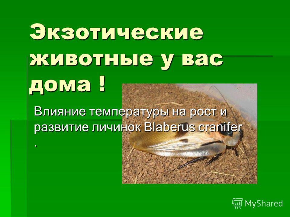 Экзотические животные у вас дома ! Влияние температуры на рост и развитие личинок Blaberus cranifer.