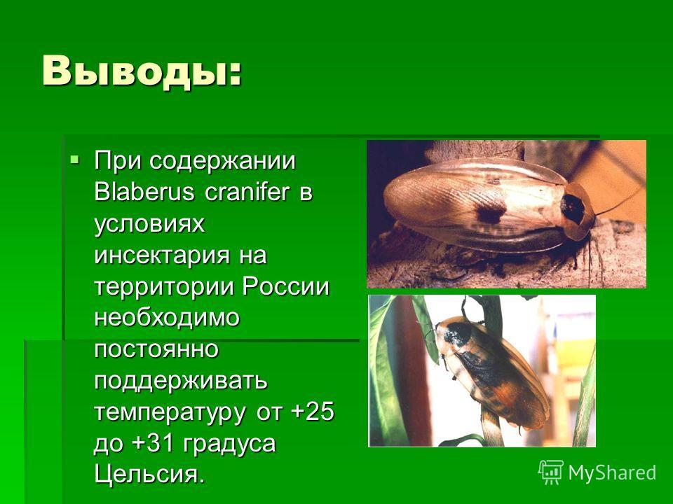 Выводы: При содержании Blaberus cranifer в условиях инсектария на территории России необходимо постоянно поддерживать температуру от +25 до +31 градуса Цельсия. При содержании Blaberus cranifer в условиях инсектария на территории России необходимо по