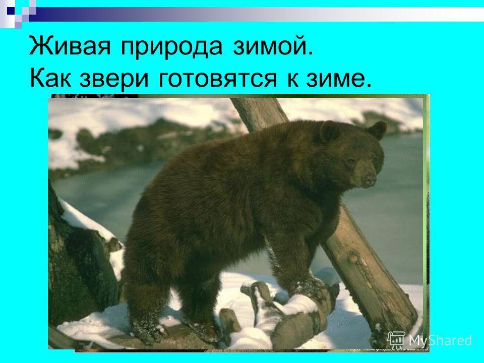 Живая природа зимой. Как звери готовятся к зиме.