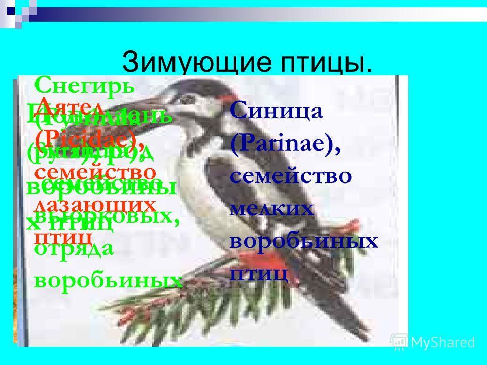 Зимующие птицы. Поползень (Sitta ), род воробьины х птиц Синица (Parinae), семейство мелких воробьиных птиц Снегирь (Pyrrhula pyrrhula), семейство вьюрковых, отряда воробьиных Дятел (Picidae), семейство лазающих птиц