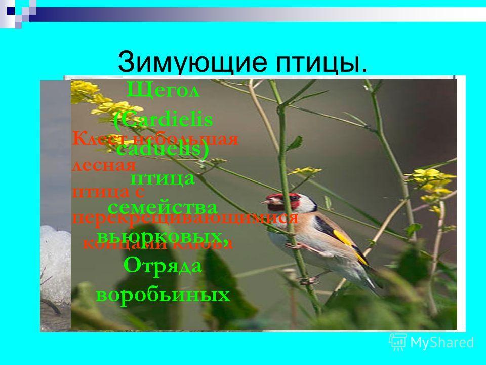 Зимующие птицы. Клест небольшая лесная птица с перекрещивающимися концами клюва Щегол (Cardielis caduelis) птица семейства вьюрковых, Отряда воробьиных