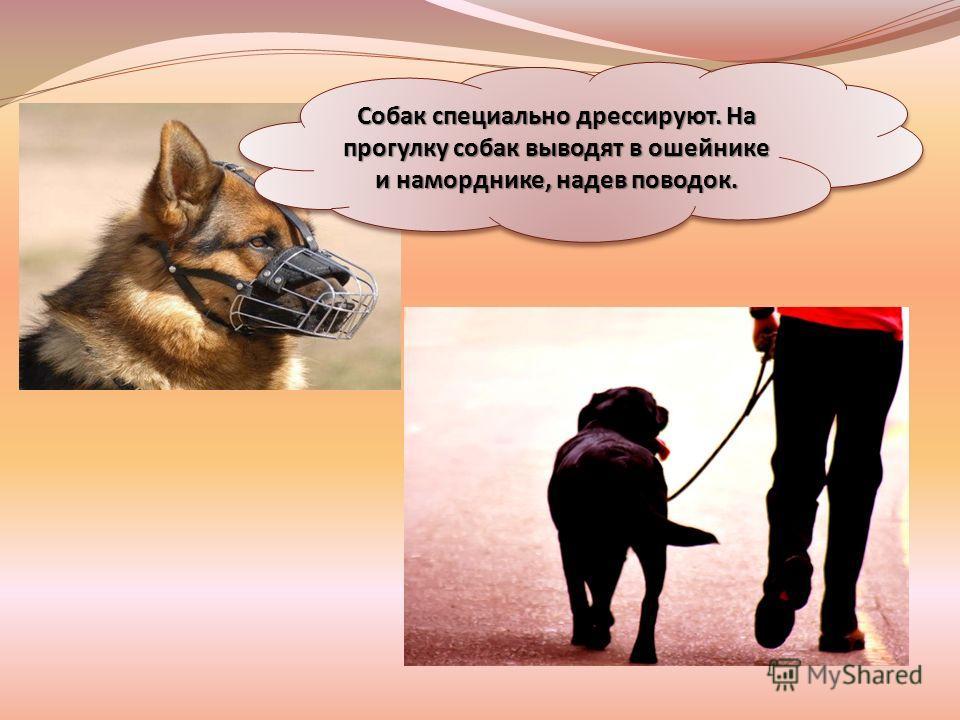 Собак специально дрессируют. На прогулку собак выводят в ошейнике и наморднике, надев поводок.