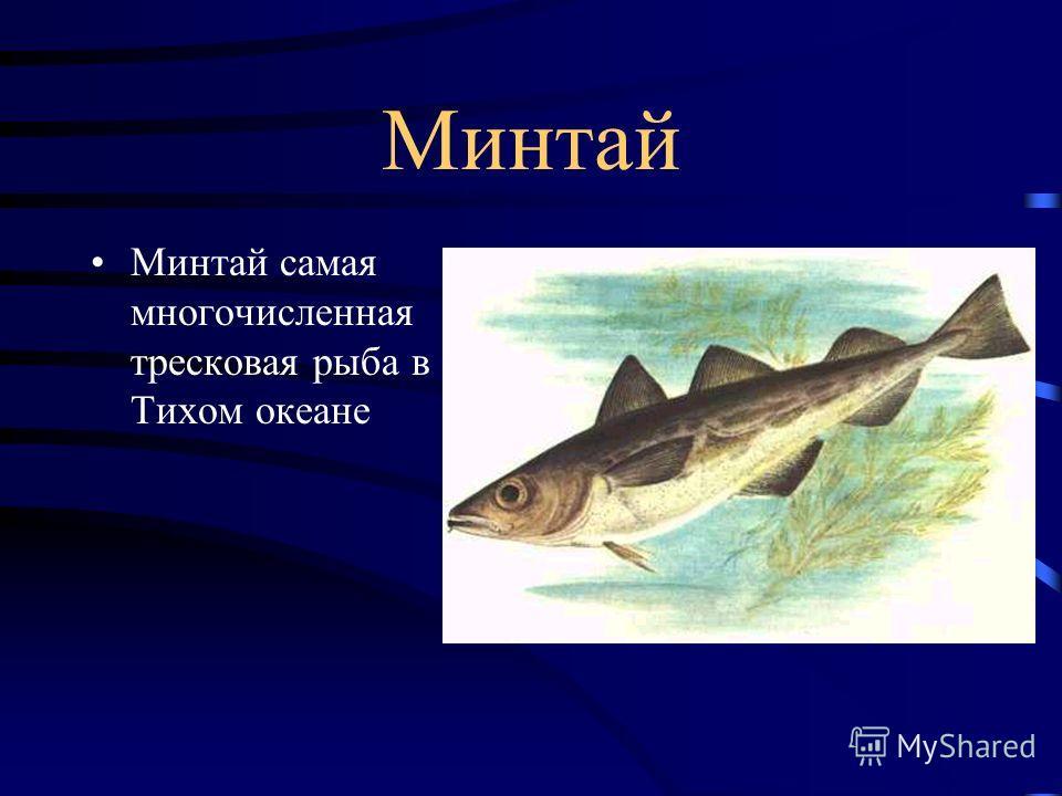 Тихоокеанская сельдь Тихоокеанская сельдь-рыба, которая большую часть жизни проводит в движении. Это стайная рыба.Она рождается, живёт и умирает в окружении себе подобных.