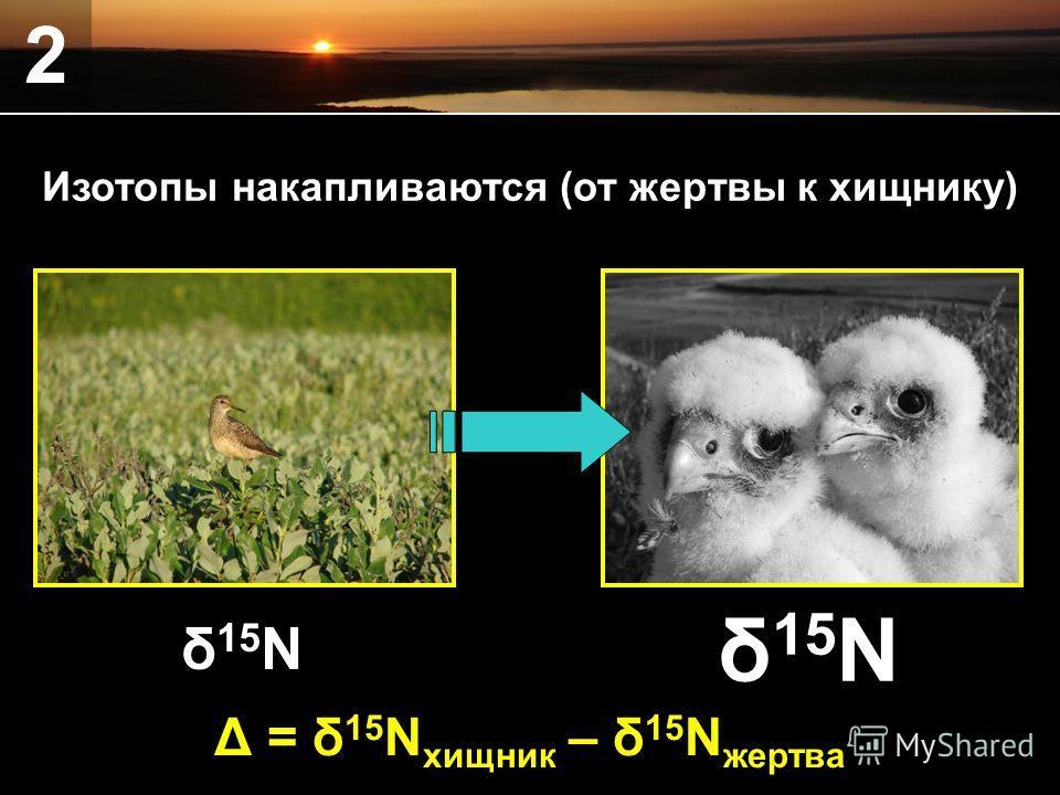 2 δ 15 N Δ = δ 15 N хищник – δ 15 N жертва Изотопы накапливаются (от жертвы к хищнику)