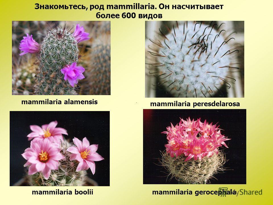 mammilaria alamensis Знакомьтесь, род mammillaria. Он насчитывает более 600 видов mammilaria peresdelarosa mammilaria booliimammilaria gerocephala