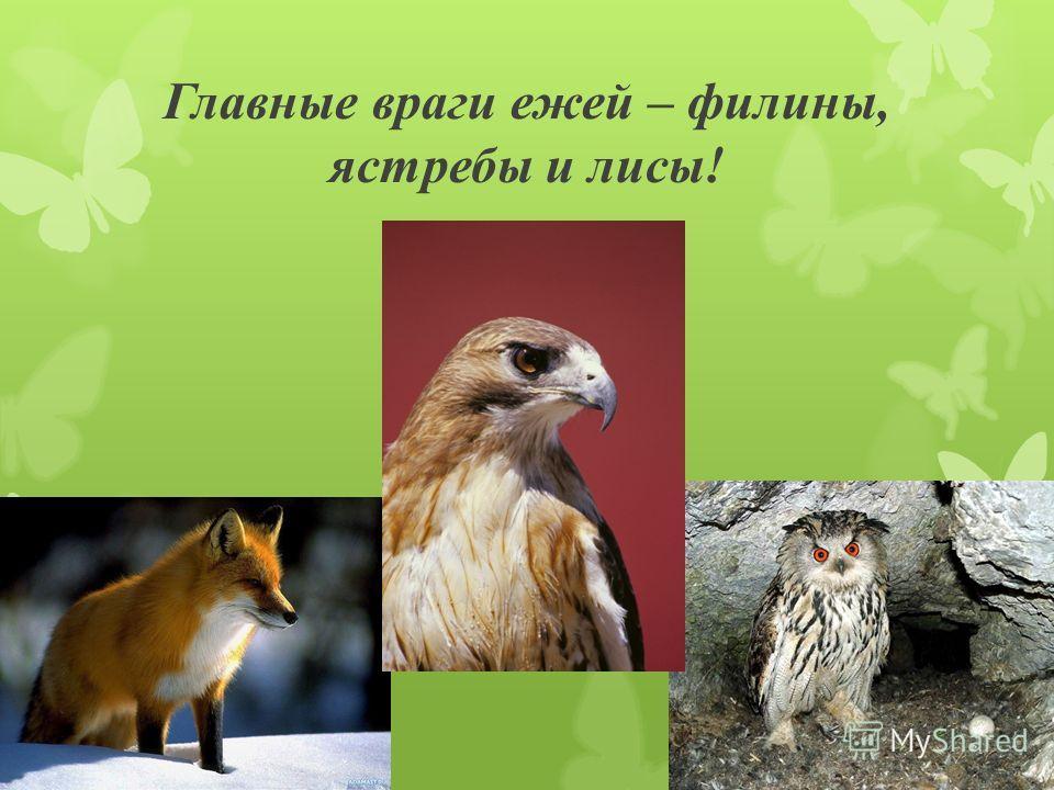 Главные враги ежей – филины, ястребы и лисы!