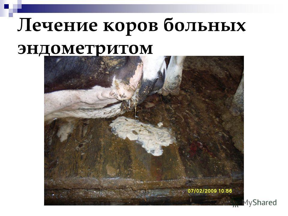 Лечение коров больных эндометритом