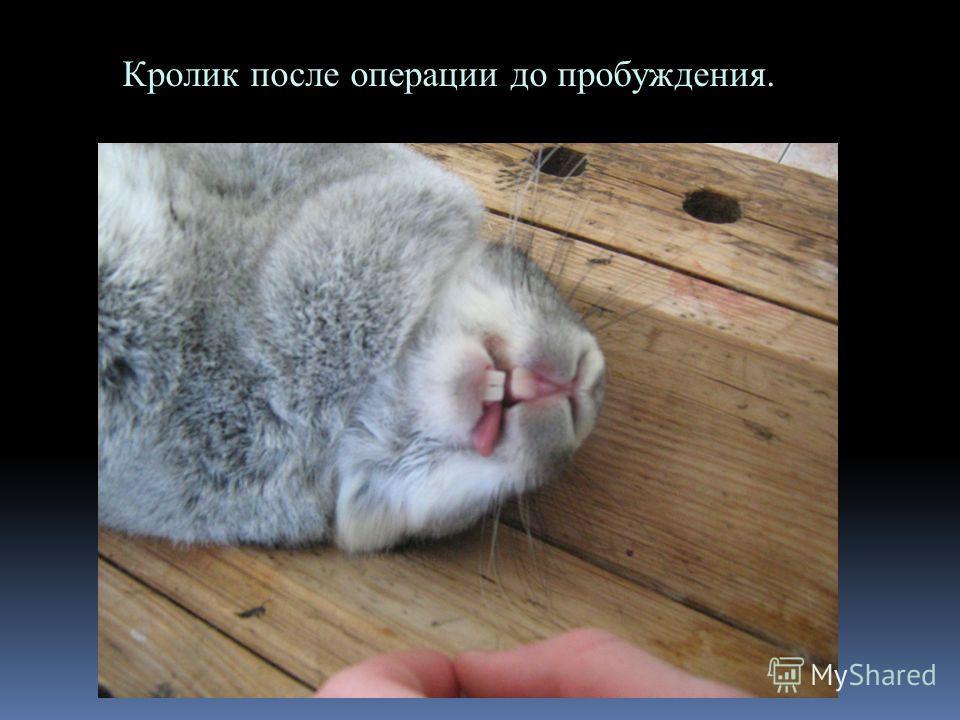 Кролик после операции до пробуждения.