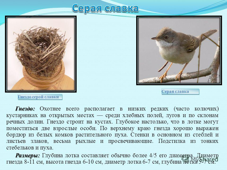 Гнездо: Гнездо: Охотнее всего располагает в низких редких (часто колючих) кустарниках на открытых местах среди хлебных полей, лугов и по склонам речных долин. Гнездо строит на кустах. Глубокое настолько, что в лотке могут поместиться две взрослые осо