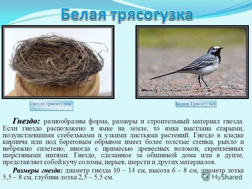 Гнездо: Гнездо: разнообразны форма, размеры и строительный материал гнезда. Если гнездо расположено в ямке на земле, то ямка выстлана старыми, полуистлевшими стебельками и узкими листьями растений. Гнездо в кладке кирпича или под береговым обрывом им