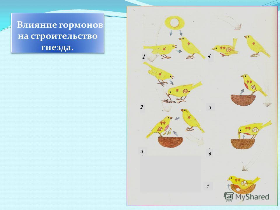 Влияние гормонов на строительство гнезда. 1 2 3 6 5 4 7