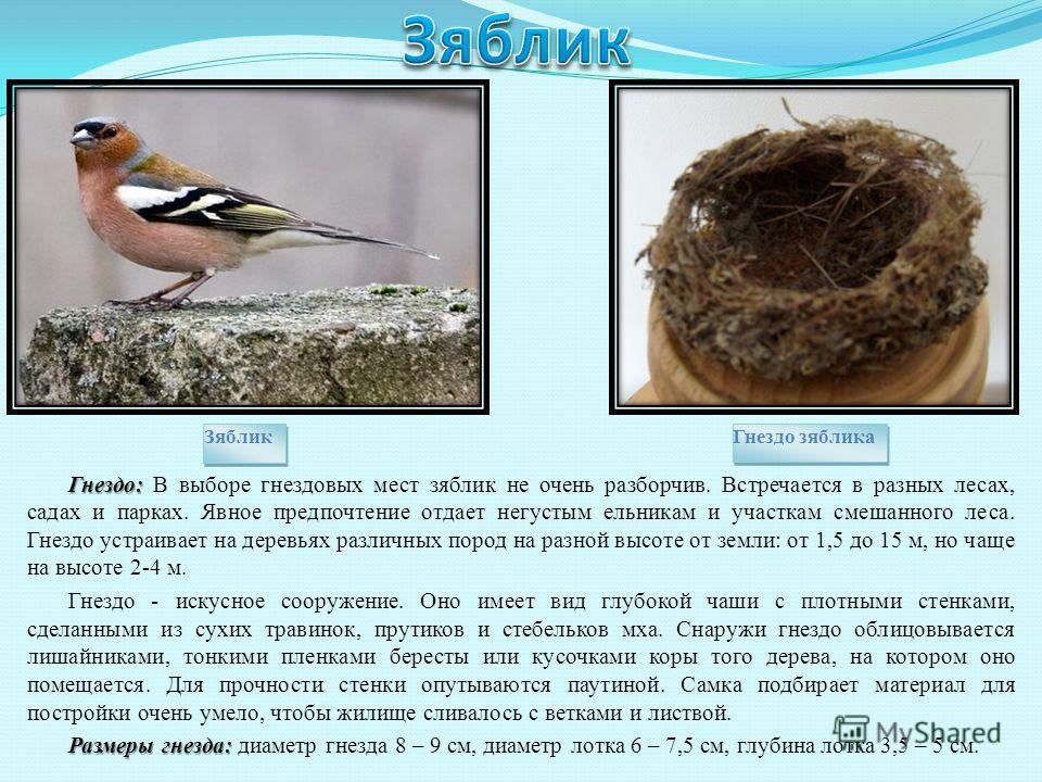Гнездо: Гнездо: В выборе гнездовых мест зяблик не очень разборчив. Встречается в разных лесах, садах и парках. Явное предпочтение отдает негустым ельникам и участкам смешанного леса. Гнездо устраивает на деревьях различных пород на разной высоте от з