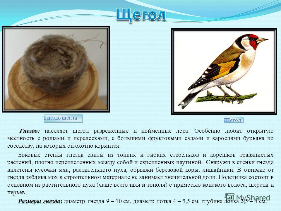 Гнездо: Гнездо: населяет щегол разреженные и пойменные леса. Особенно любит открытую местность с рощами и перелесками, с большими фруктовыми садами и зарослями бурьяна по соседству, на которых он охотно кормится. Боковые стенки гнезда свиты из тонких